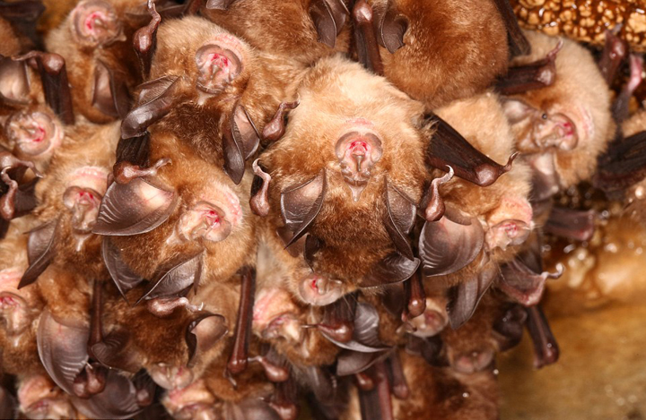 日本人研究者、コウモリの群れが冬に消える謎を解明