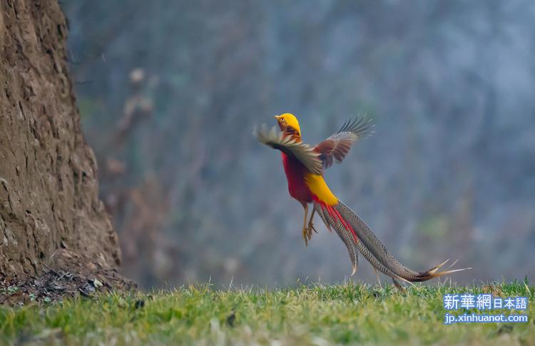 カラフルな羽を持つ一番美しい鳥のキンケイ