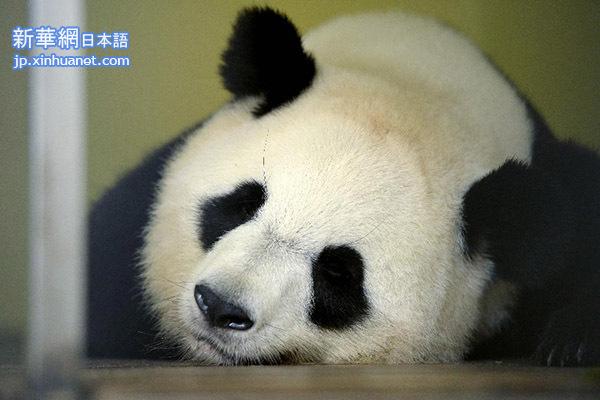 ジャイアントパンダの画像 p1_14