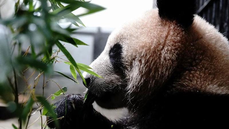 パンダの健康診断 上海動物園