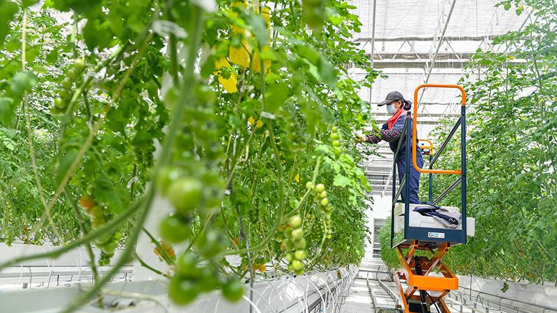 スマート農業技術導入で年間通して青果を生産 吉林省永吉県
