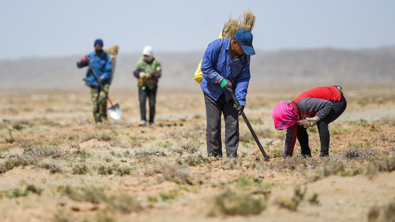ゴビ砂漠で植樹、砂漠化対策進む 内モンゴル自治区